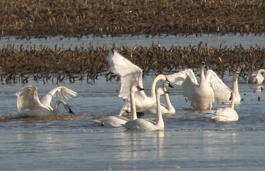4-3-2013. Swans, E. Bingham Rd.,